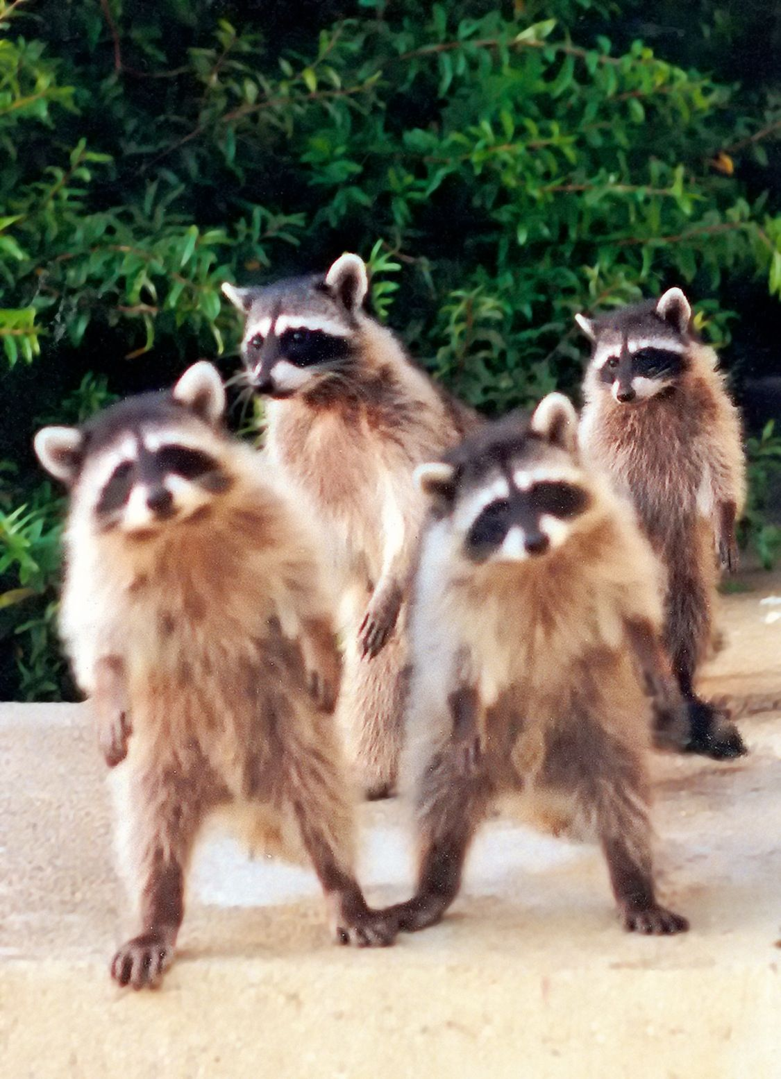 Raccoons Walking Upright After Being Startled In California Cute Animals Cute Raccoon Animals Beautiful