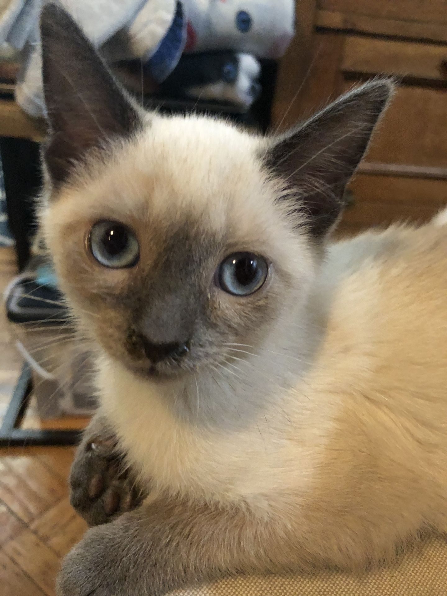 Adopt Capt Crunch on Petfinder Balinese cat, Cats
