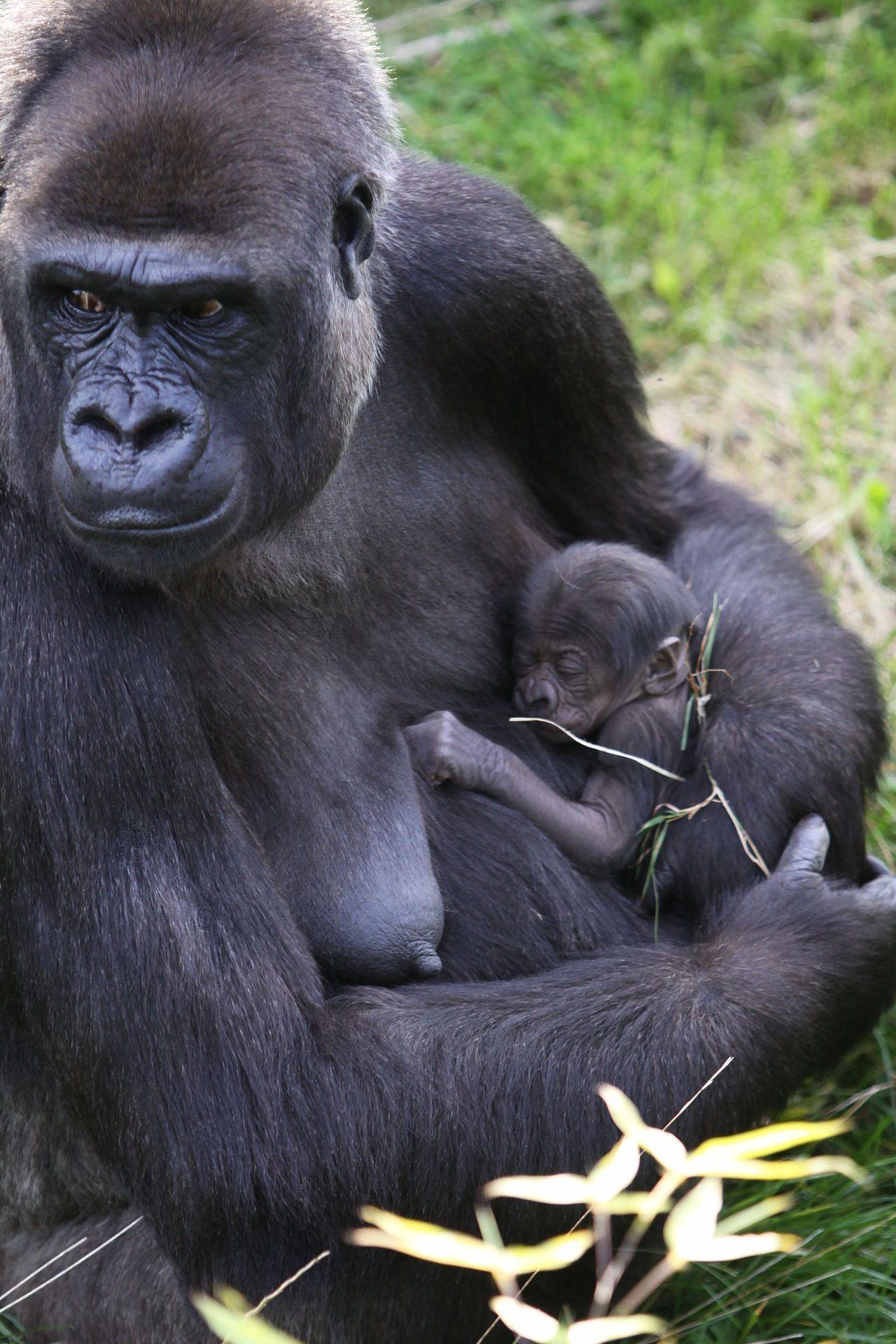 Flachlandgorilla mit Baby Western lowland gorilla