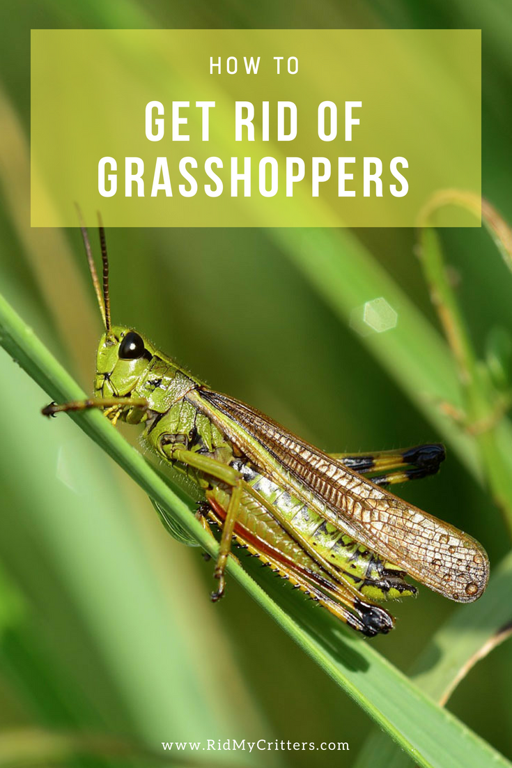11 Ways to Get Rid of Grasshoppers (Quick, Effective, and ...