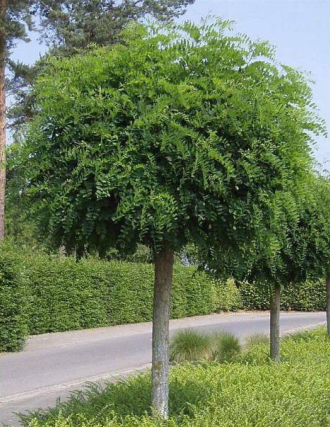 robinia pseudoacacia umbraculifera 39 bolacacia of kogelacacia is een kleine boom met. Black Bedroom Furniture Sets. Home Design Ideas