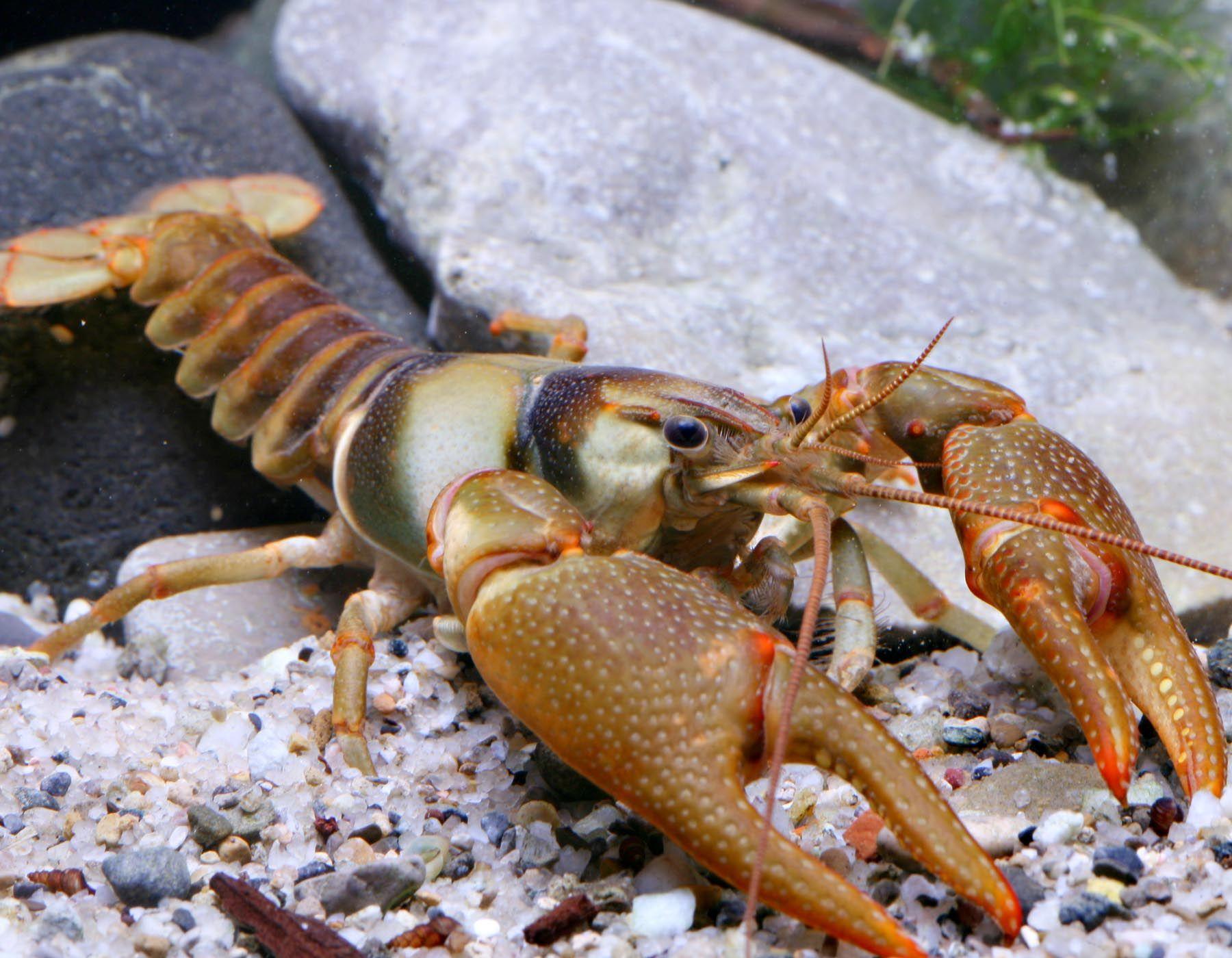 Crustacea Crustaceo Crustacean Malacostraca Eumalacostraca Eucarida Decapoda Pleocyemata Astacidea Crayfish Fish Farmers Fishing Room