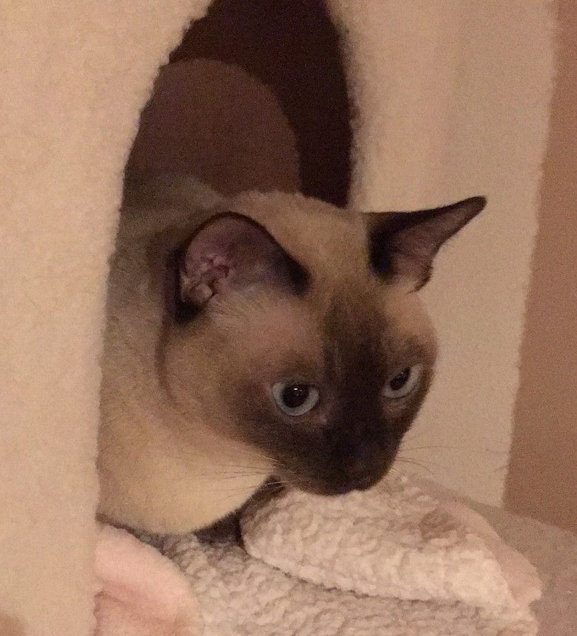 Purebred Tonkinese Cat For Adoption In Spokane Wa Adopt Lindy Tonkinese Cat Cat Adoption Tonkinese