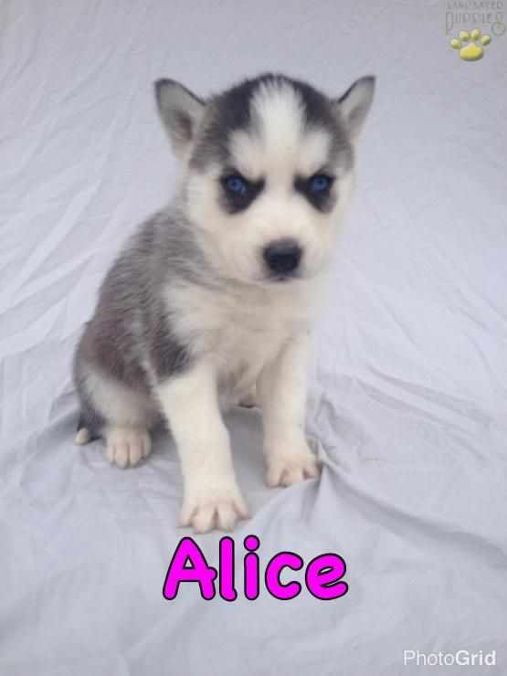 Alice Siberian Husky Puppy For Sale In Dundee Oh Lancaster