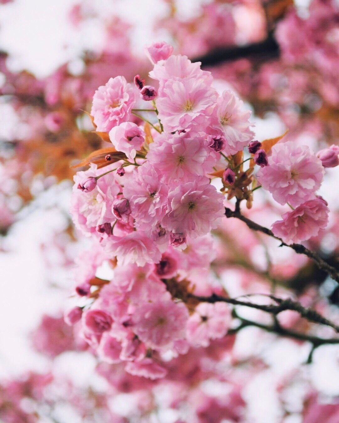 The most beautiful pink lady flowers pinterest flowers the most beautiful pink lady mightylinksfo