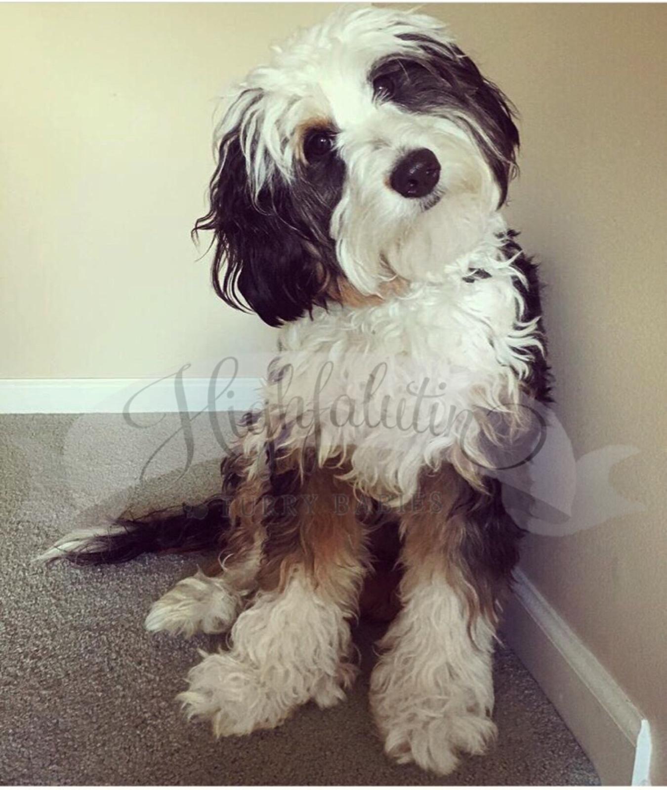 Mini Bernedoodle Puppy Head Tilt Www