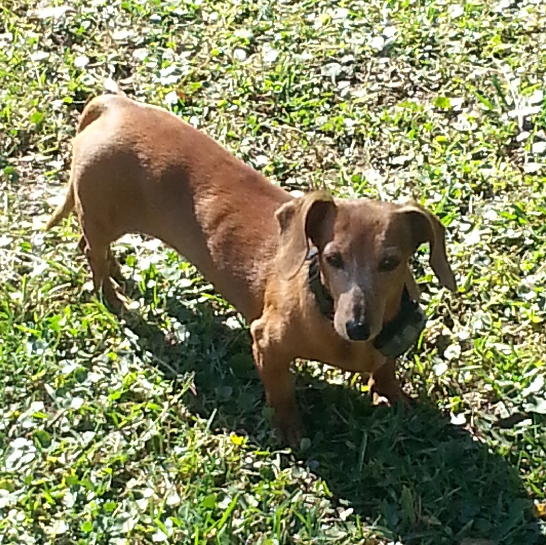 Dachshund dog for Adoption in Jacksonville, FL. ADN24952