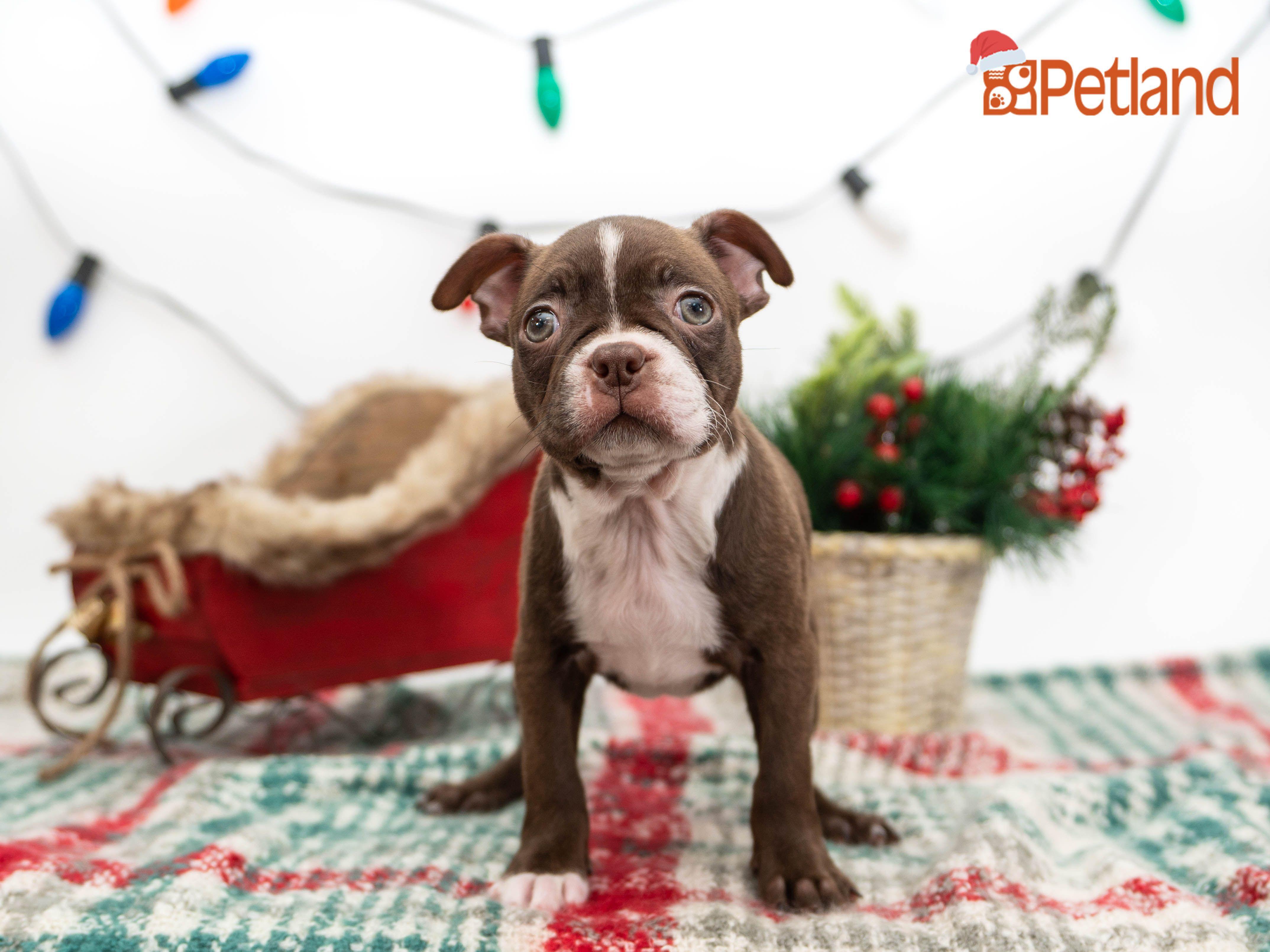 Puppies For Sale Puppy friends, Boston terrier puppy