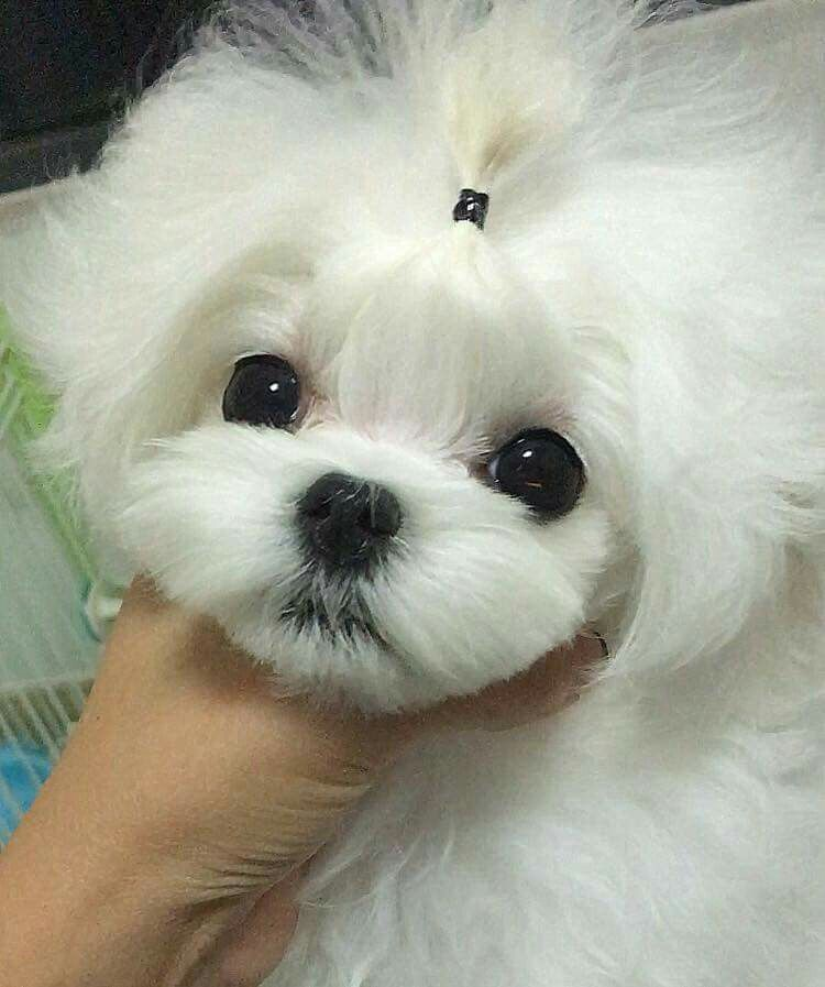 How cute Maltese dogs, Teacup puppies maltese, Maltese puppy