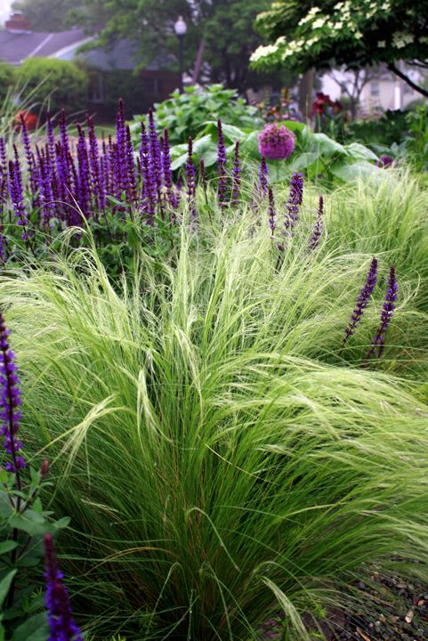 Nasella tenuissima salvia 39 caradonna 39 and allium 39 purple for Purple grasses for landscaping
