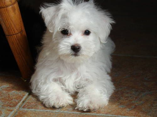 Maltese Coton De Tulear Puppies Maltese Puppy Dogs