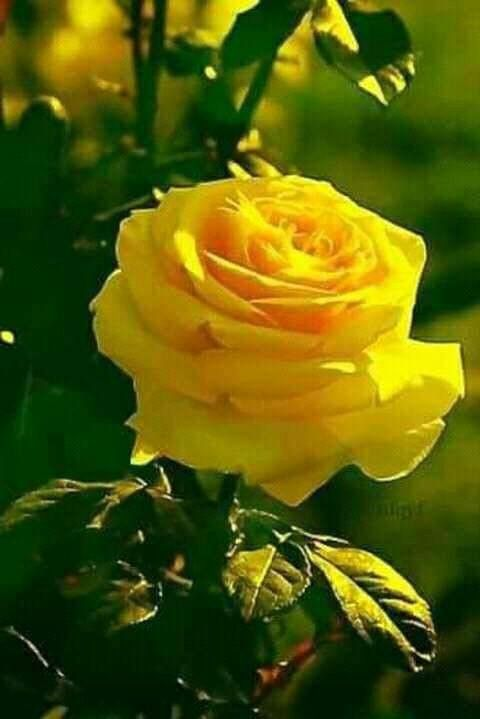 Pin by francesca sacilotto on flowers song pinterest yellow yellow flowers flowers gif pretty flowers amazing flowers roses gif beautiful mightylinksfo