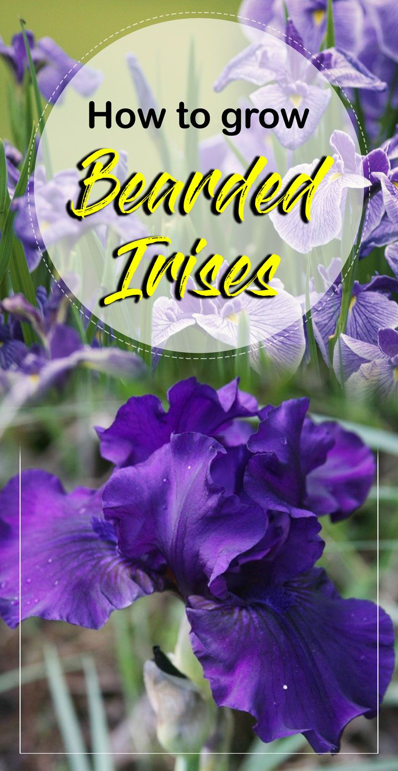 How To Grow Iris Flowers Bearded Iris Growing Irises Naturebring Growing Irises Iris Flowers Iris Flowers Garden