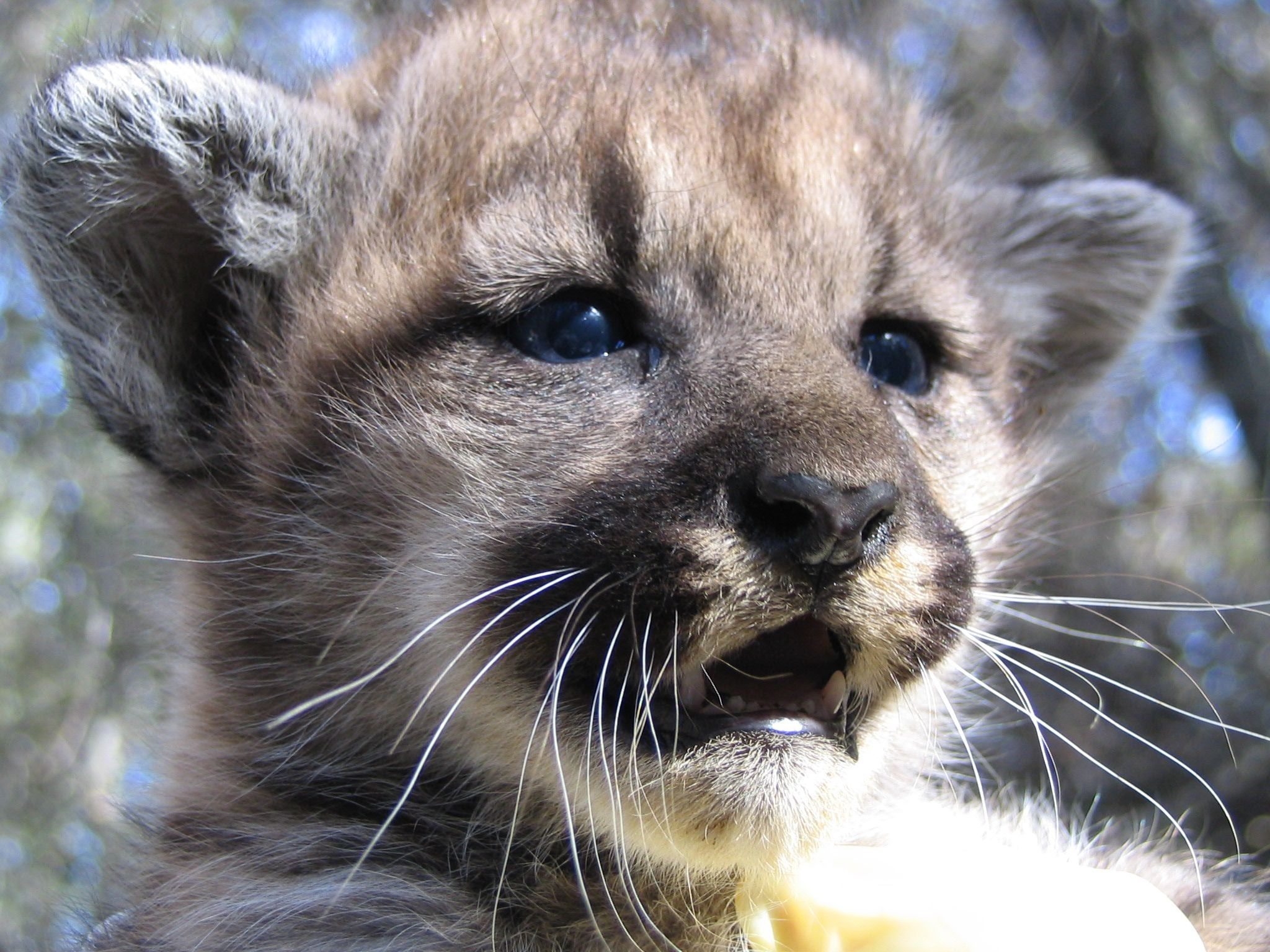 Mountain Lion Kitten Mountain Lion Wildlife Kittens