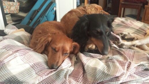 Apparently A Made Bed Means Nothing To Weenie Dogs Weenie Dogs