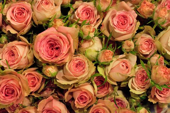 Product Profile Spray Roses Newcoventgardenmarket Com Spray Roses Fragrant Roses Rose Varieties