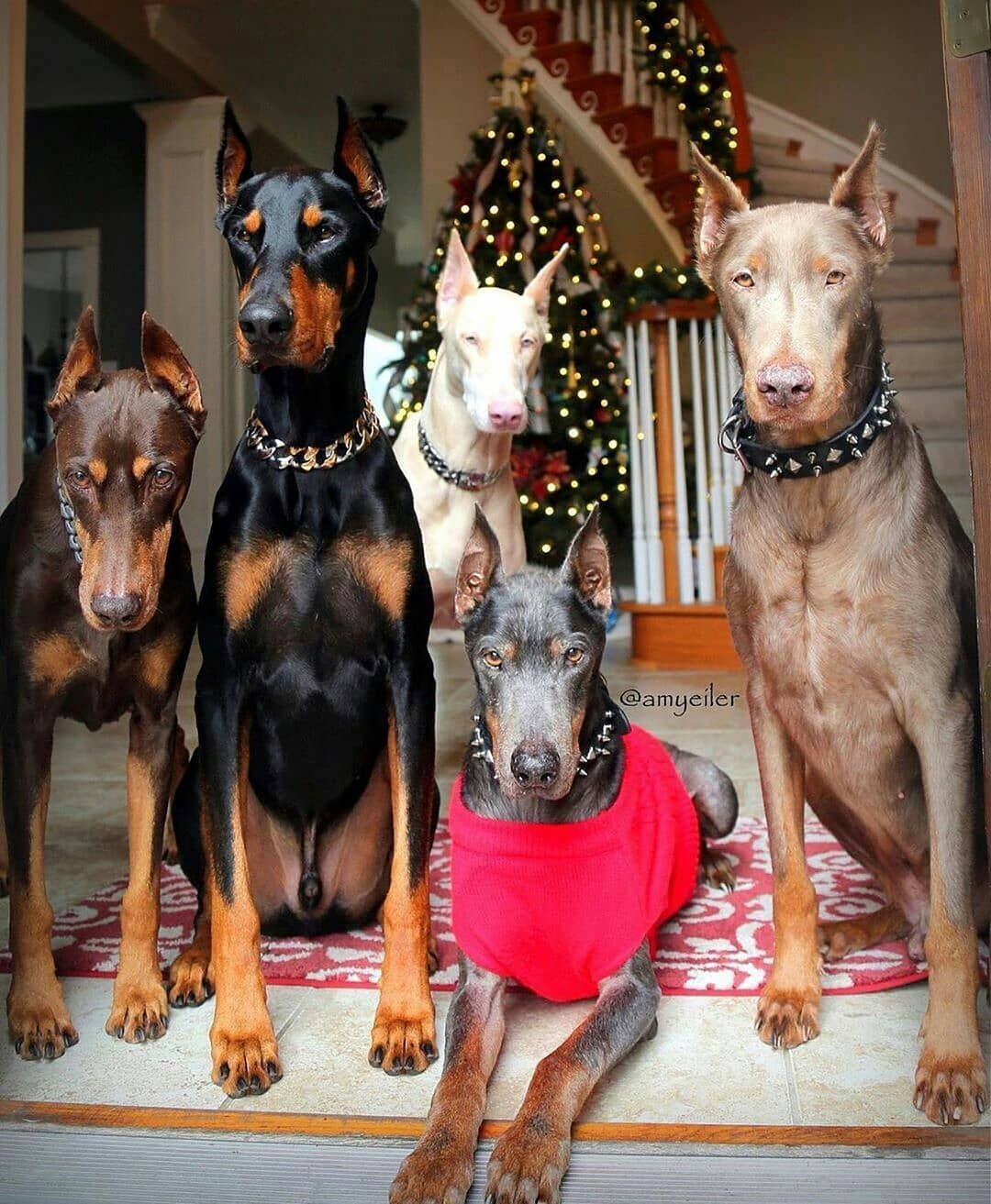Ready for party . . amyeiler . . doberman in 2020