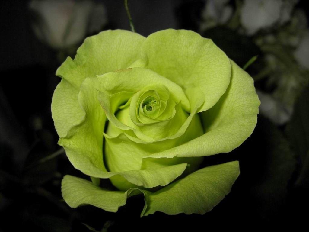 green-rose-1080p.jpg (1024×768)