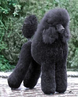 Toy Poodle Blog Poodle Hair Pretty Poodles Poodle Puppy
