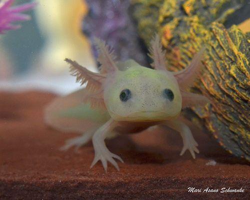 Baby leucistic gfp axolotl | #Axolotls:) | Axolotl ...