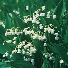 Convallaria Majalis Bordeaux Lily Of The Valley In 2020 Lily Of The Valley Flowers Lily Of The Valley Spring Hill Nursery