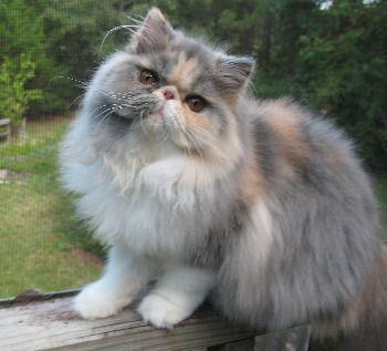 Dilute Calico Persian In 2020 Himalayan Kitten Persian Kittens Cat Gifts