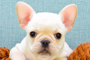 French Bulldog Puppies For Sale Ohio Frenchie Pups Online French Bulldog Puppies Bulldog Puppies Yorkie Puppy For Sale