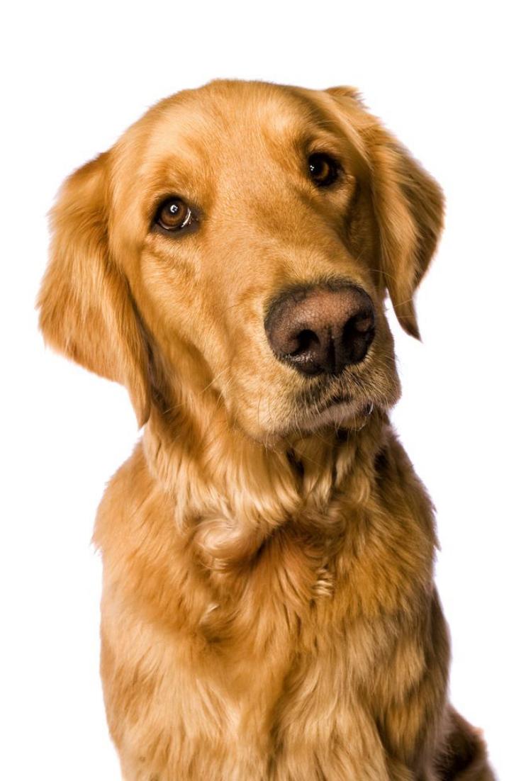 Beautiful Golden Retriever Dog Head Shot Isolated On White Background Goldenretriever Golden Retriever Dogs Golden Retriever Retriever
