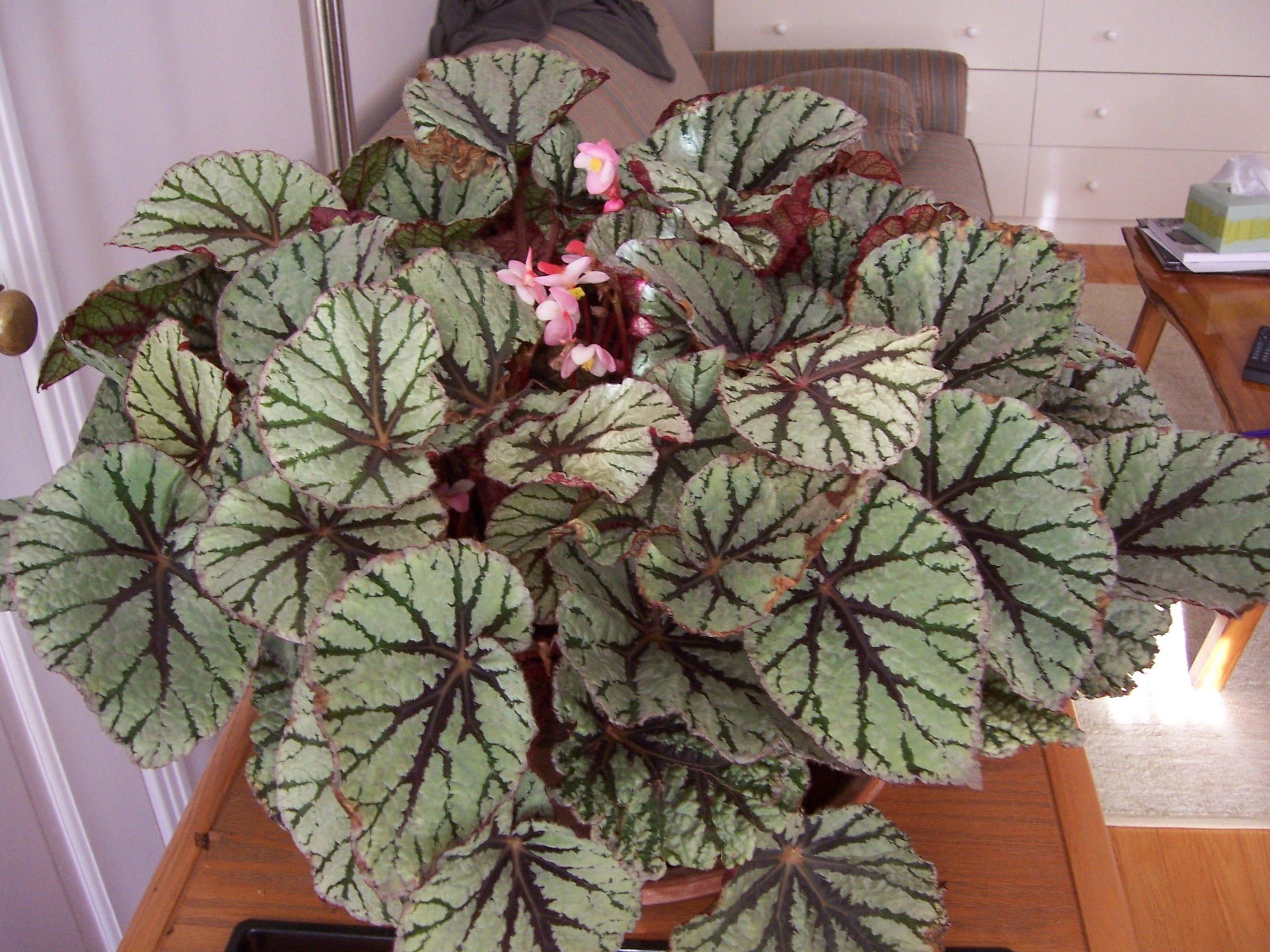 Begonia Rex Tiger Eyes With Images Plants Indoor Plants