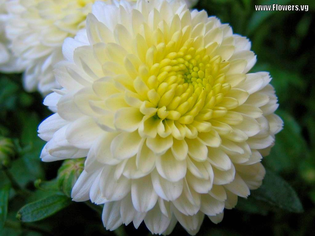 Pictures Of White Yellow Mum Flowers My Favorite Flowers Are
