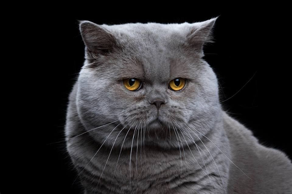 Here Are All The Cat Breeds You Never Knew Existed Cat Breeds British Shorthair Cats Cute Cats
