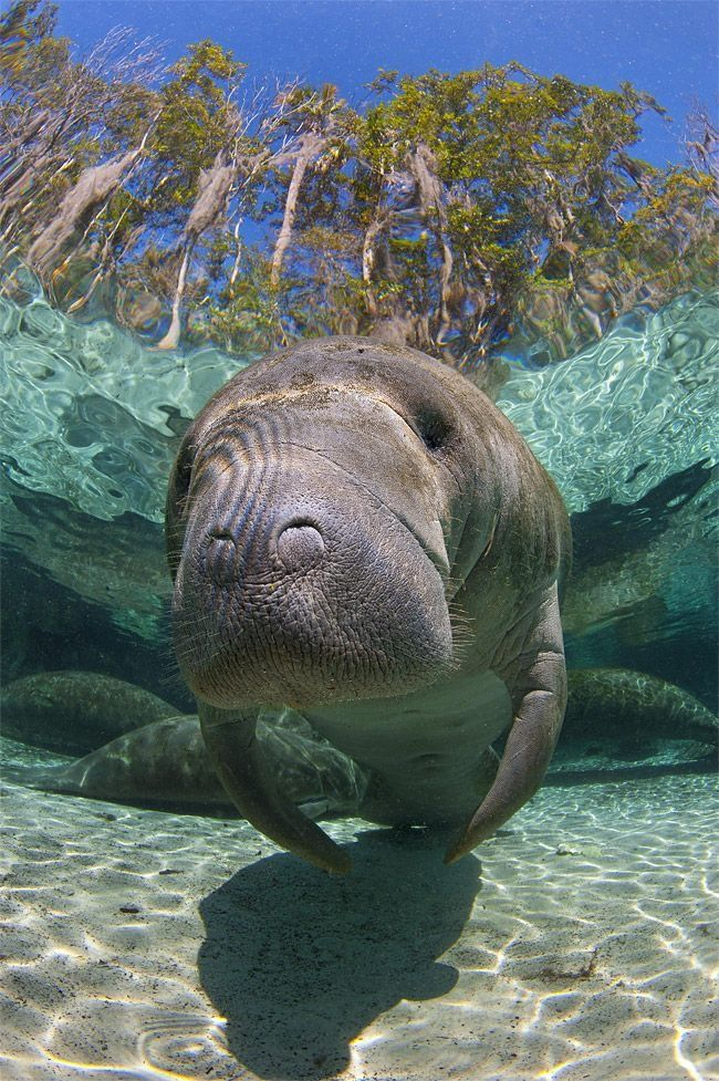 Manatees (family Trichechidae, genus Trichechus) are large