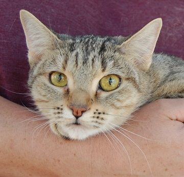 Amelia Cat Adoption Animals Cats