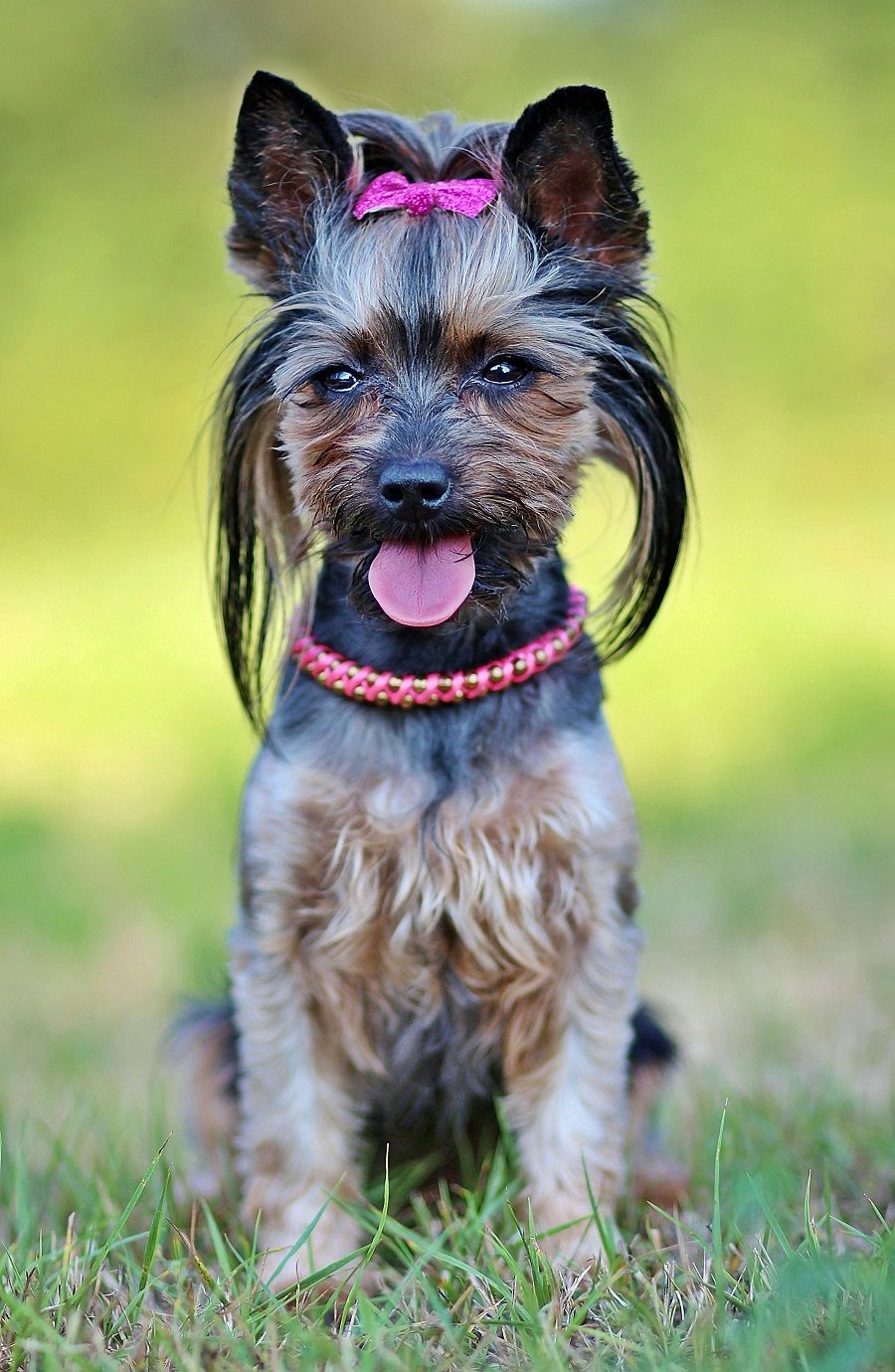 What Is The Best Dog Food For Yorkies Update 2020 Best Dog Food Yorkie Dogs Dogs