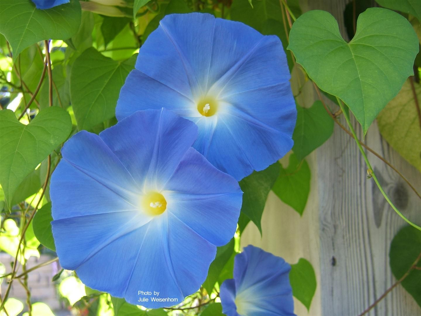 Heavenly Blue Morning Glory. Annual vine. Nick the seeds with a file, then soak in water for a few hours. This speeds germination.