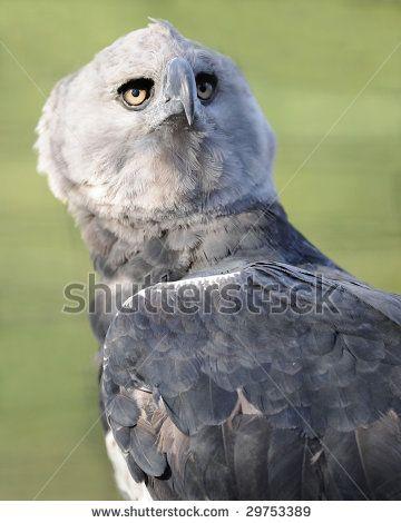 central american harpy eagle or harpia harpyja corcovado national
