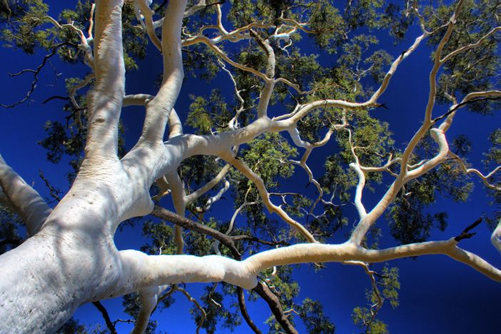 The beautiful Ghost Gum tree of Australia. The bark is so