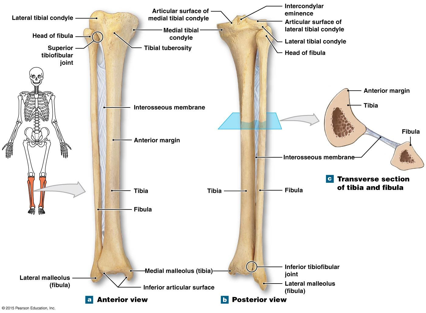Tibia And Fibula Bone Worksheet