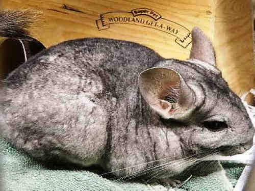 TWINKLE is an adoptable Chinchilla Small