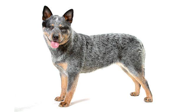 Australian Cattle Dog Breed Information Heeler Puppies Blue Heeler Dogs Dog Breeds