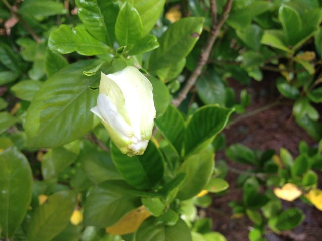 What S Wrong With My Gardenias Yellow Leaves Spots Rust Johntheplantman Gardening In 2020 Plants Yellow Leaves Gardenia Plant