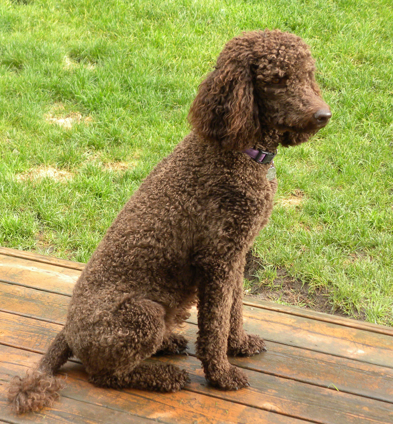 Small Standard Poodle Puppies Aussiedoodle And Labradoodle