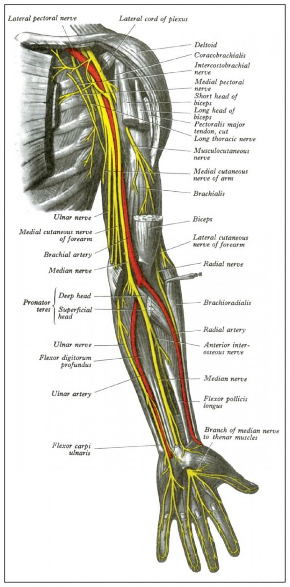 Anatomy Of The Peripheral Nerves Of The Arm Nerwy Kg Pinterest
