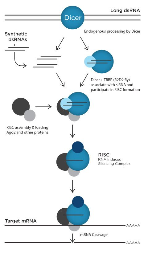 A Schematic Overview Of The Pathways Involved In Degradative Rnai
