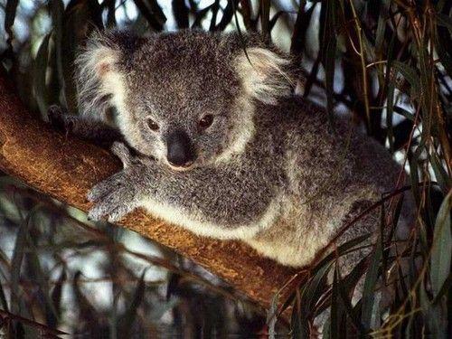 Australia Wallpaper Koala Koala Cute Animals Koala Bear
