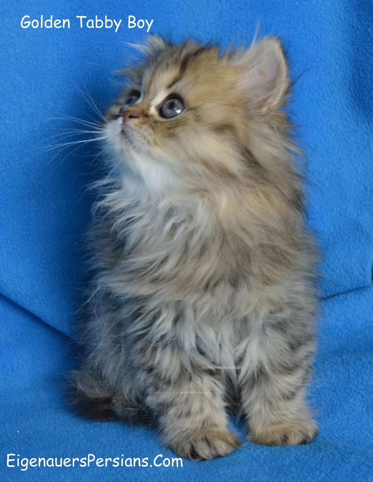 Golden Persian Kitten Boy For Sale Tea Cup Persian Kittens For