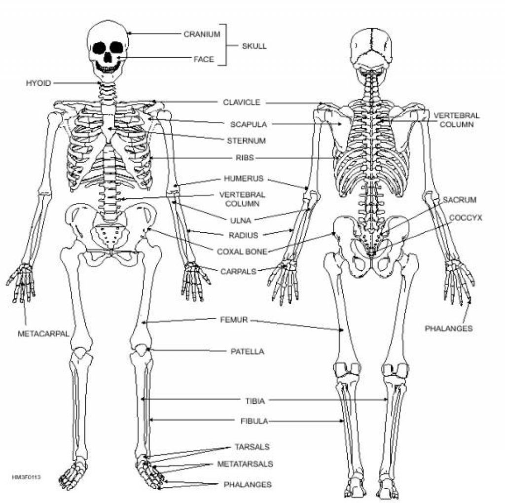 Skeleton Diagram And Labeled Printable Human Skeleton