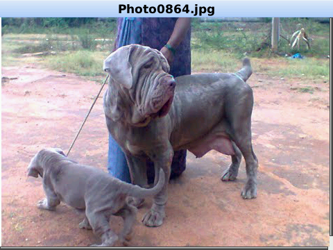 Neapolitan Mastiff Puppies For Adoption Wow Com Image Results Mastiff Puppies Puppy Adoption Neapolitan Mastiffs