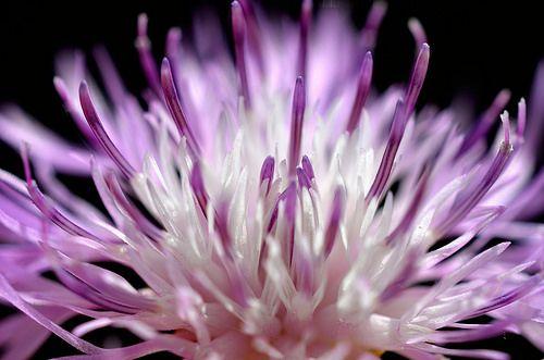 Centaurea - Explore