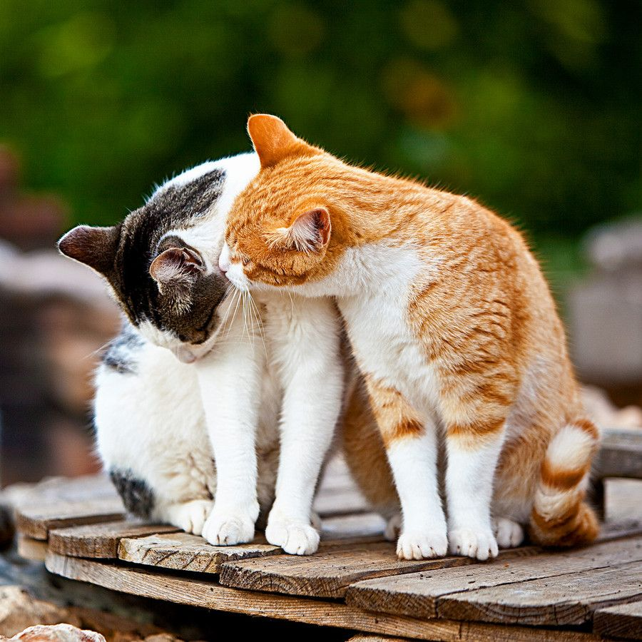 how to clean a stray cat's ears